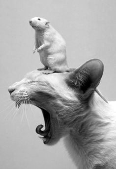 Amazing! That the rat is on top of the cats head, his expression and cats yawn! So lucky to get this combination in a shot