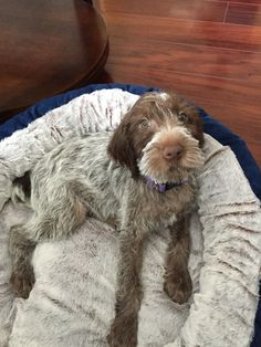 Wirehaired Griffons Of Colorado Is Quite Excited To Announce Our Lucy Girl S Confirmed Pregnancy