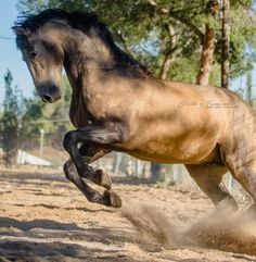 A beauty❤ Morisco XII Horse Photos, Horse Pictures, Animal Pictures, Akhal Teke, Andalusian Horse, Sierra, Horse Photography, Horse Love, Beautiful Horses
