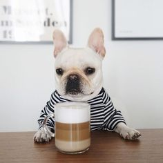 """This coffee looks fancy....I better drink it slow"", adorable Barista, French Bulldog Puppy ❤️:"