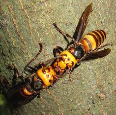 "Not just in Asia.  In 2012 - ""Reports of Asian Giant Hornets in Alabama, California, Georgia, Illinois, Indiana, Iowa, Kentucky, Louisiana, New Hampshire, New Jersey, New York, North Carolina, Ohio, Oklahoma, Pennsylvania, Tennessee, Texas, Vermont, Virginia, and West Virginia."" http://www.arlingtoncardinal.com/2012/07/deadly-asian-giant-hornet-spotted-in-arlington-heights-not-cicada-killer-wasp"