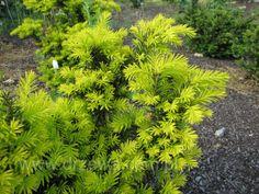 Dwarf Golden Japanese Yew Taxus cuspidata 'Nana Aurescens'