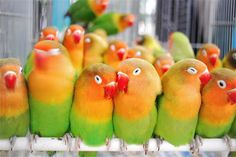 Lorakeets - they look like rainbow sherbet!