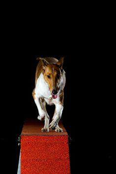 Smooth collie on a dogwalk doing agility