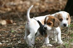 Exploring Beagle Pups: This photo of two 6 week old beagle puppies was taken in April 2013 in Pomfret Connecticut. The darker smaller beagle in front is female and is named Scout. Her brother is named Scooter.