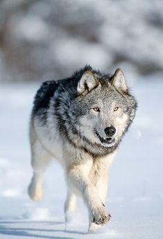 "wolfsheart-blog: "" Grey wolf, adult running in snow, winter, Montana. Credit: Daniel J Cox """