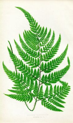 Edward Joseph Lowe Fern (Aspidium Coniifolium) Antique Botanical Print, 1857 Wood Block Engraving, B