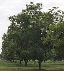 Elliot Pecan Tree on Fast Growing Trees Nursery