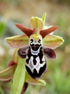 le merveilleux monde des orchidées rares, orchidée abeille