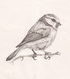 drawing of a blue tit                                                       …