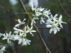 Serviceberry (Amelanchier) is a native well suited to the forest's edge. With a second tree for pollination the flowers develop into edible fruits. Serviceberry will often grow as a multi trunked tree, so it is best used in an informal setting.