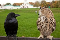 Enemies in the bird world, friends in the human world. SHANNON (raven) & TRACI (owl)