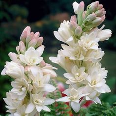 Double Tuberosa 'The Pearl' - The Pearl is loved by gardeners for its pristine white flowers and heavenly scent. Great for cutting.