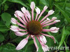 Forestfarm Bloom, Plants, Planters, Plant, Planting