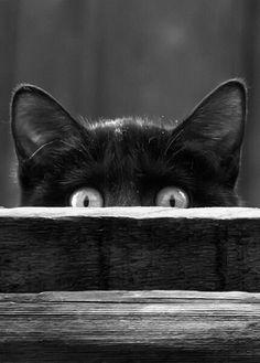 """""""Dans ma cervelle se promène  Ainsi qu'en son appartement, Un beau chat, fort, doux et charmant. Quand il miaule, on l'entend à peine, (...)"""" Baudelaire, Le chat."""
