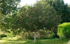 Our gardening agony aunt offers advice about how to move an apple tree, deal with a weedy path and aid an ailing dogwood Garden Whimsy, Apple Tree, Top Soil, Planting Flowers, Plants, Earthworms, Tree, Bay Tree, Compost
