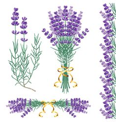 Lavender common vector 1107888 - by mart_m on VectorStock®