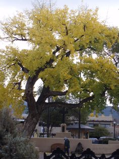 Old Cottonwood in Taos Plaza
