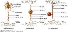 Multipolar, Bipolar and unipolar neurons