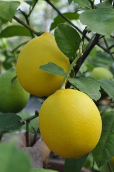 The Meyer Lemon Tree is a wonderful thing to have in your garden.