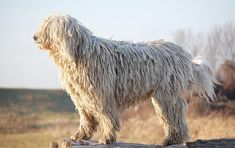 The komondor is a large, muscular dog, with plenty of bone and substance; Its gait is light and leisurely, with long strides. I Love Dogs, Cute Dogs, Worlds Largest Dog, Mop Dog, Dog Breed Info, Komondor, Giant Dog Breeds, Rat Terriers, Beautiful Dogs