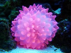 Bubble tip anenmone