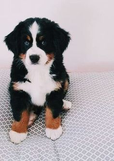 Berner Sennenhund Welpe The Effective Pictures We Offer You About Cutest Baby Animals in the world A Cute Baby Dogs, Cute Dogs And Puppies, I Love Dogs, Doggies, Baby Puppies, Cute Little Animals, Cute Funny Animals, Funny Dogs, Baby Animals Pictures