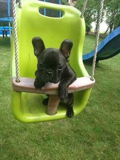 Lovely french buldog puppy