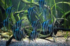 Amazon Rainforest Fish | Amazon rainforest photos: Altum angelfish
