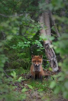 Red Fox Cub by Sortehell