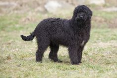 Bergamasco Shepherd puppy. It takes several years to develop that coat.