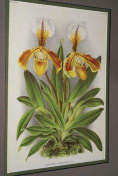 Lindenia Orchid Print Cypripedium Stepmaniae Paphiopedilum Limited edition B5      $15.31