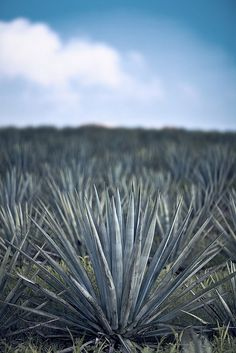 Wallpaper feature wall inspiration from Blue Agave plantation Agaves, Air Plants, Cactus Plants, Cacti Garden, Tequila, Field Wallpaper, Agave Plant, Planting Succulents, Succulent Arrangements