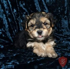 Barney - A Morkie Puppy