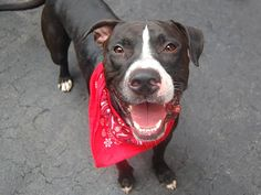 MARJORAM - ID#A1007683  I am an unaltered male, black and white American Staffordshire Terrier and American Pit Bull Terrier.  I am about 2 years old.
