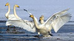 Spring in air! Swans, Spring, Natural Beauty, Wildlife, Birds, Nature, Animals, People, Swan