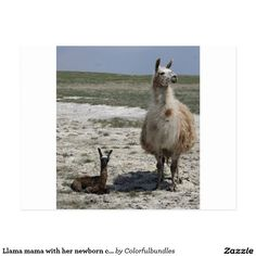 Llama mama with her newborn cria