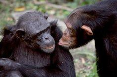 chimp eden -