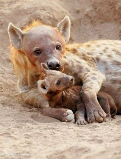 Hyena love  I am constantly amazed ..sometimes we the humans should look at animals and see them as role models to us..xo