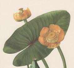 Stampa Botanica 1950 ' s Nuphar lutea acqua-giglio giallo