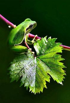 A small frog on vine leaves by IGCOR https://www.facebook.com/144196109068278/photos/pb.144196109068278.-2207520000.1419188840./247020278785860/?type=3&theater