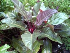 Photo of Red-Leaf Philodendron 'Imperial Red' (Philodendron erubescens)