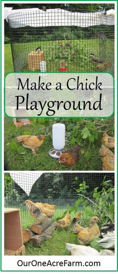 Baby chicks benefit from a time outdoors from a few days old, weather permitting. Create a stimulating, moveable playground and watch them play! Make one using what you have on hand to fashion something similar. Raising Backyard Chickens, Keeping Chickens, Pet Chickens, Backyard Farming, Urban Chickens, Chicken Life, Chicken Runs, Chicken Houses, Canard Coop