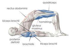 #anatomy #yoga #bridge