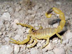 O escorpião mais venenoso do mundo ~ Hoje Descobri...