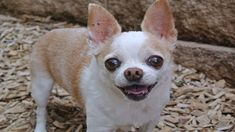 Finding names for female chihuahua dogs is not an easy task. Discover best and funny girl chihuahua names of 2020. Daisy, Emma, Gigi, Angel, Annie … Small but mighty, Chihuahuas are known for their petite...