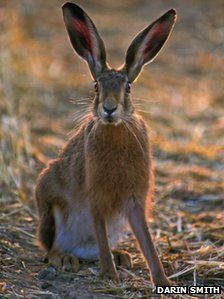 Brown hare http://www.bbc.co.uk/news/uk-wales-15991732