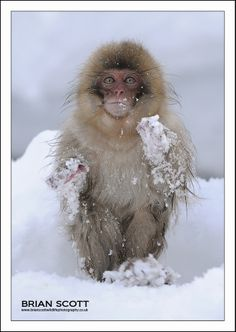 A young snow monkey taken in Jigokudani valley japan Thanks for looking Brian Snow Monkeys, Brian Scott, Interesting Animals, Wild Animals, Creatures, Sea, Beautiful, The Ocean, Ocean