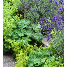 3 summer-flowering perennials which should be included in every garden Alchemilla, Lavender & Nepeta. Both Alchemilla & Lavender have the RHS AGM.