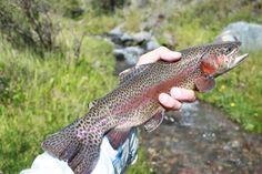 Trucha arcoíris en Río La Carrera 300 g (81 cm) Carrera, Fishing, Rainbow Trout, Trout Fishing, 2nd Trimester, Bass Fishing, Peaches, Pisces
